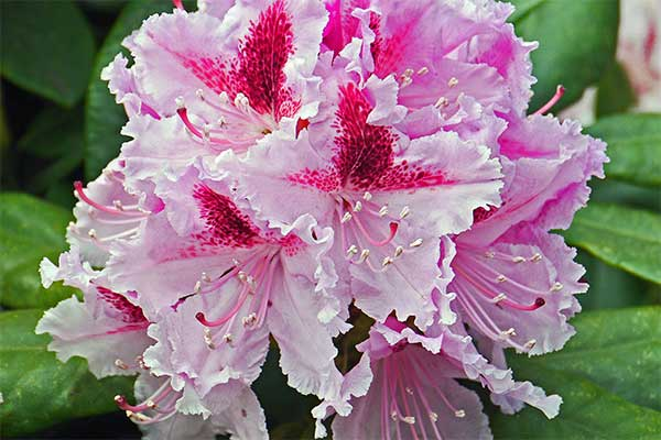 rhododendron und azalea